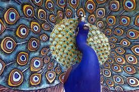 Peacocks are game birds because they stay on the ground most of the time. They are considered sacred in India. Find fun facts about peacocks here: http://easyscienceforkids.com/all-about-peacocks/