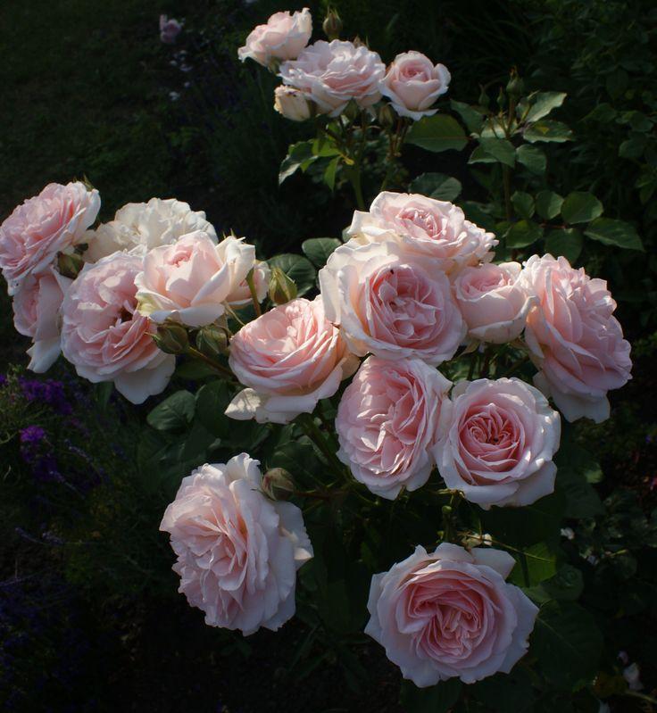 Clair renaissance rose