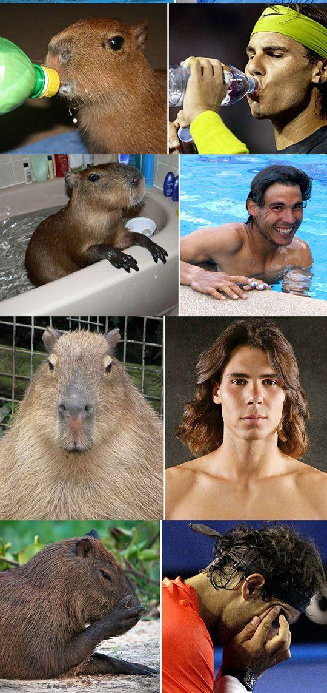 capybaras that look like rafael nadal...