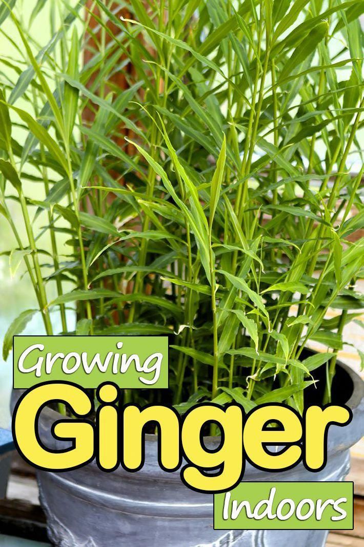 House Plant Seeds Houseplants Growing Ginger Indoors Growing