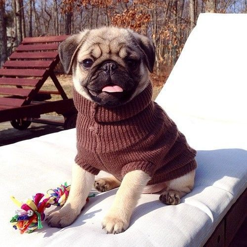 This little pug is so cute. I love him in that little sweater.