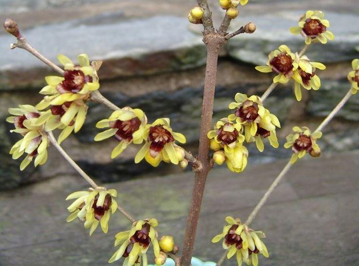 Die besten 25+ Chimonanthus praecox Ideen auf Pinterest - gartenstraucher immergrun winterhart