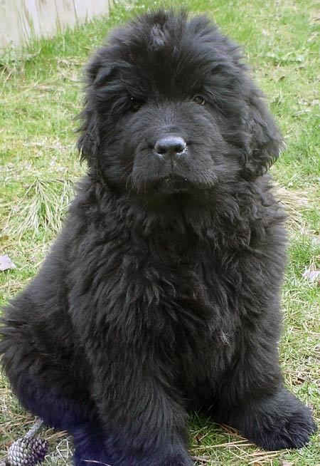 Newfoundland! I want one: Newfoundland Dogs, Best Families Dogs, Newfoundland Puppies, Album Photos, Dogs Puppies, Newfoundland Adorable Canin, Newfoundland Adorablecanin, Peter Pan, Adorable Animal