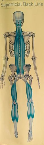 What Is The Back Fascia Line? - http://perfectlyalign.com/move/what-is-fascia/what-is-the-back-fascia-line/