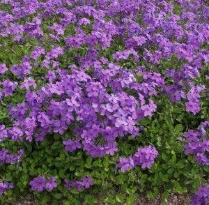 rönsyleimu/ krypflox Blue Velvet. Vintertålig, växer snabbt och trivs i sol - halvskugga. Vackra blad.