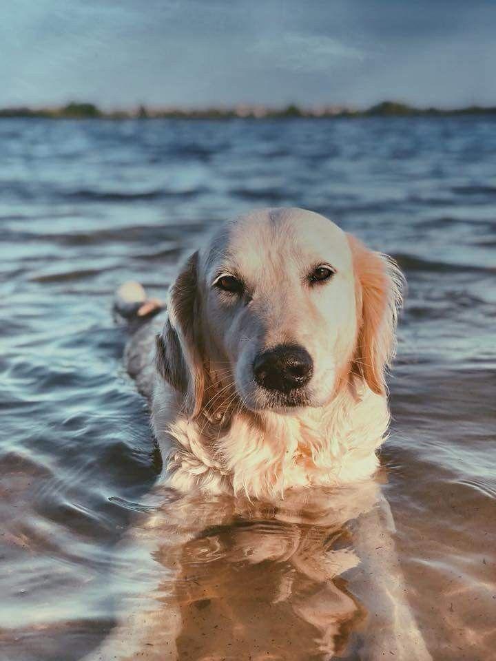 Golden Retriever Goldenretriever Tiere Hunde Hundefotos