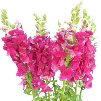 Fiftyflowers Snapdragon Hot Pink Flower