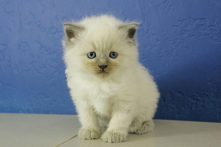 Ragdoll Kittens for Sale Near Me | Buy Ragdoll Kitten