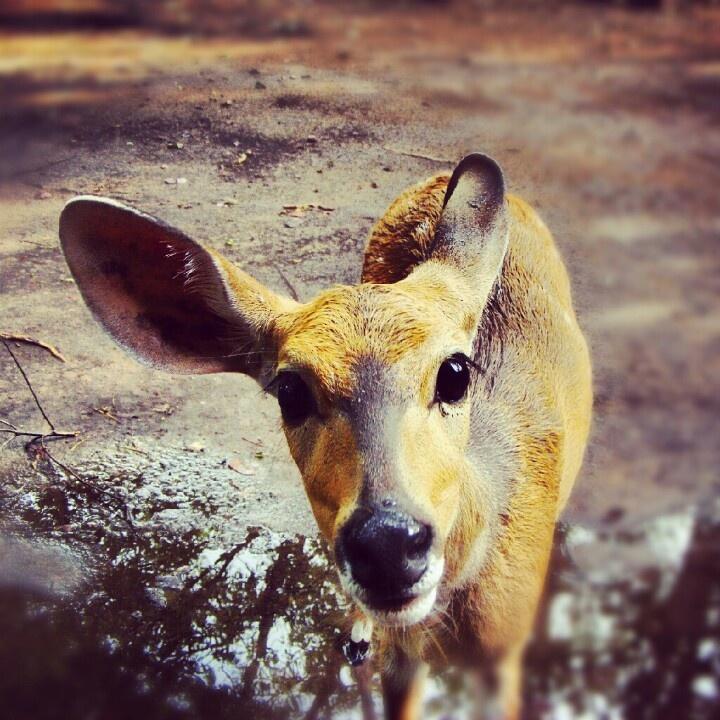Curious bushbuck