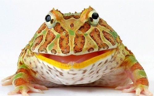 Pacman frog. Actually really gross. They will eat anything that moves and even choke to death on prey thats too big instead of leting it go.