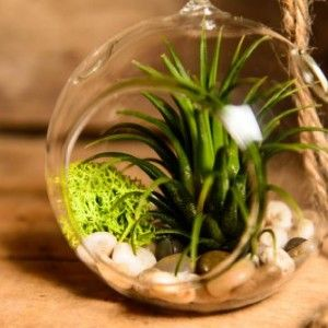 Hinterland-Trading-Air-Plant-Tillandsia-Bromeliads-Terrarium-Kit-with-Pebbles-and-Moss-Great-Little-Houseplant-0