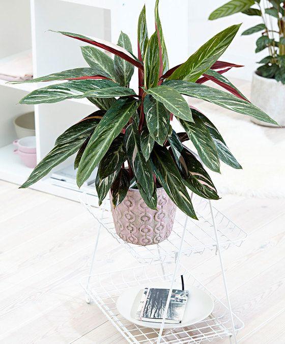 Air so Pure Calathea 'Magicstar'  Een prachtige bonte Calathea! Deze Calathea 'Magicstar' gaat in de avond slapen. Alle bladeren staan dan recht omhoog. Dat is grappig om te zien. Deze plant uit het Zuid-Amerikaanse tropische regenwoud vindt een plaatsje in de (half)schaduw geweldig. Het blad met de donker groene lichtgroene en witte vlakken is bijzonder decoratief en staat prachtig en elk interieur. De Calathea 'Magicstar' is gemakkelijk te verzorgen. Calathea's brengen ook schone lucht! In…