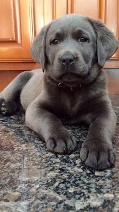 Gorgeous charcoal colored lab puppy.