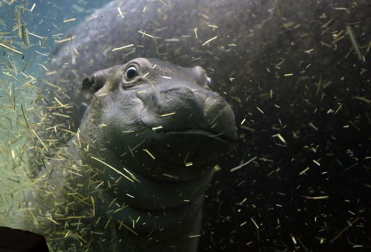 <p>A newborn baby hippo swims with its mother Maruska in their enclosure at the zoo in Prague, Czech Republic, Feb. 24, 2016. (AP Photo/Petr David Josek) </p>