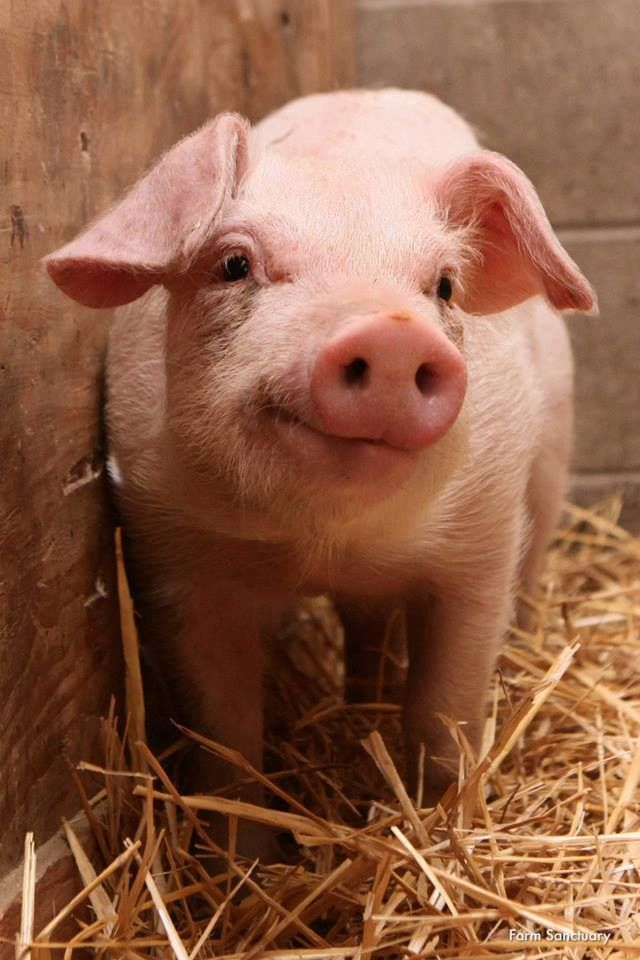 Pigs are sensitive inquisitive creatures, and have been proven to be more intelligent than most dogs and 3 year old children!♥