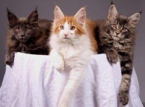 Feline Distemper | Pet Research