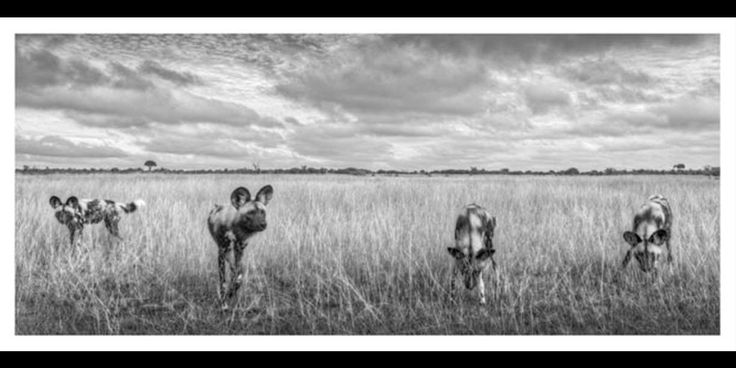 Black and white Panoramic photographic image of 4 Curious Wild dogs