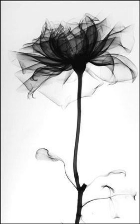 X-ray of a rose. thoughts for my flower tattoo...