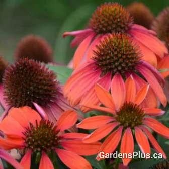 This one is on special for early part of 2018!  Order early - starting Jan 1st each season.....  Cone flower Santa Fe