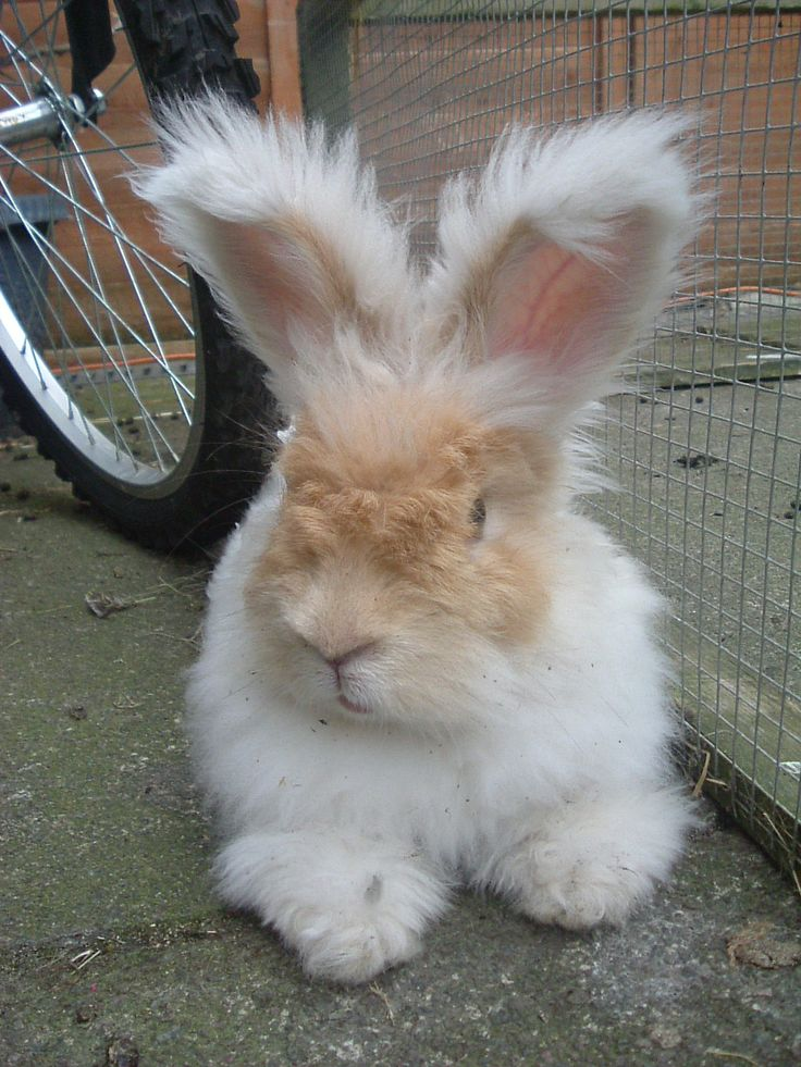 1000+ ideas about Rex Rabbit on Pinterest   Baby bunnies ...