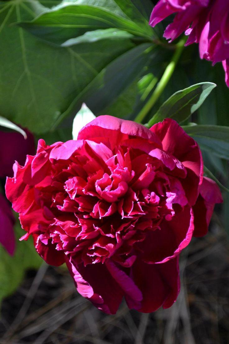 Bondpionen blommar i juni. Den är praktfull och trivs nästan överallt. Ofta fortsätter den att blomma år efter år även i förvildade rabatter och vid övergivna torp. Som de flesta andra pioner en härdig blomma som går att odla även i kärva klimatzoner. Bondpioner och de flesta andra pioner planteras grunt, knölen ska bara vara ca 5 cm under jordytan för att de ska blomma. Pioner vill stå orörda på samma plats år efter år, gräv inte för nära plantan.