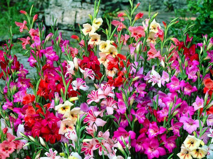 Bulb Flowers Summer Flower Bulbs Flowersplanting Flowersgardening Vegetablesspring