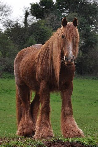 Red Shire Horse, Devon England. Feathers are red on this Horse because of the red soil in the east of Devon.