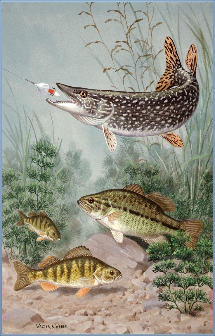 картинки только пресноводных рыб дали возможность