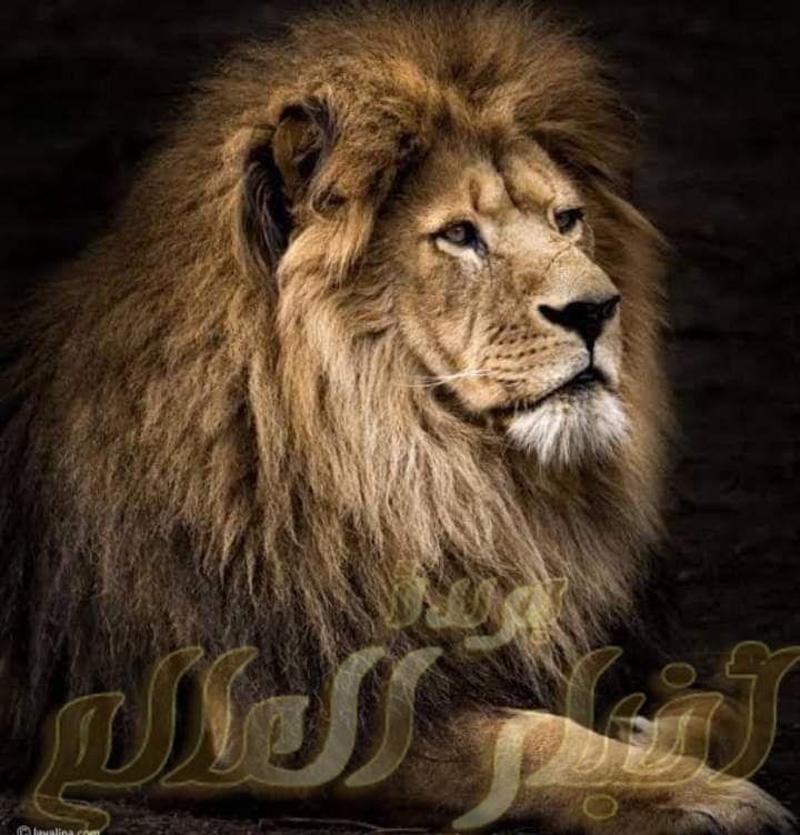 تفسير رؤية الاسد في المنام جريدة اخبار العالم مصر بين يديك Lion Photography Animals Lion Pictures