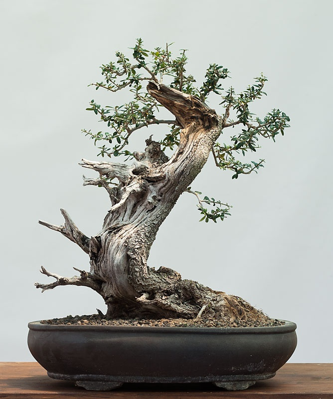 olea oleaster wild olive bonsai pinterest. Black Bedroom Furniture Sets. Home Design Ideas