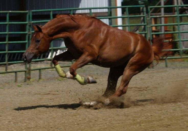 My halter horse can do more than just look pretty   Ducati T