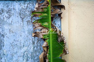 tropical plant againt wall - Half-dead tropical leaf against a wall in Kochi, India.