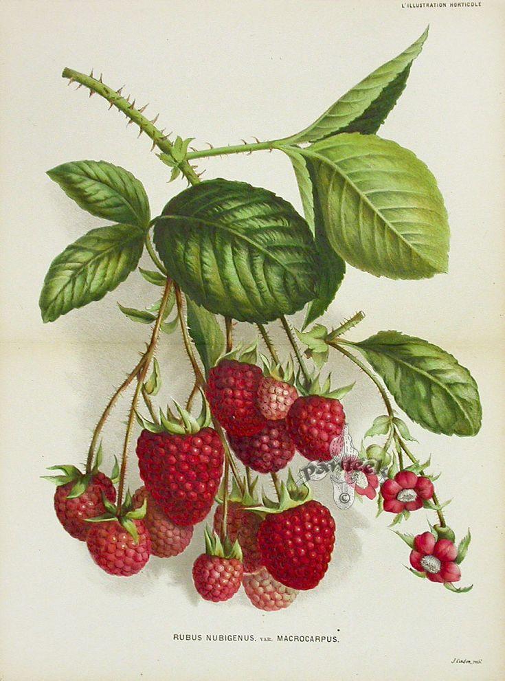Fruit Prints by Lemaire, Verschaffelt & Linden 1860-1896