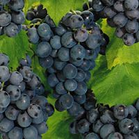 Wine Recipes: Concord Grape Universal Recipe - use this one. Note - this blog has tons of interesting wine recipes!!