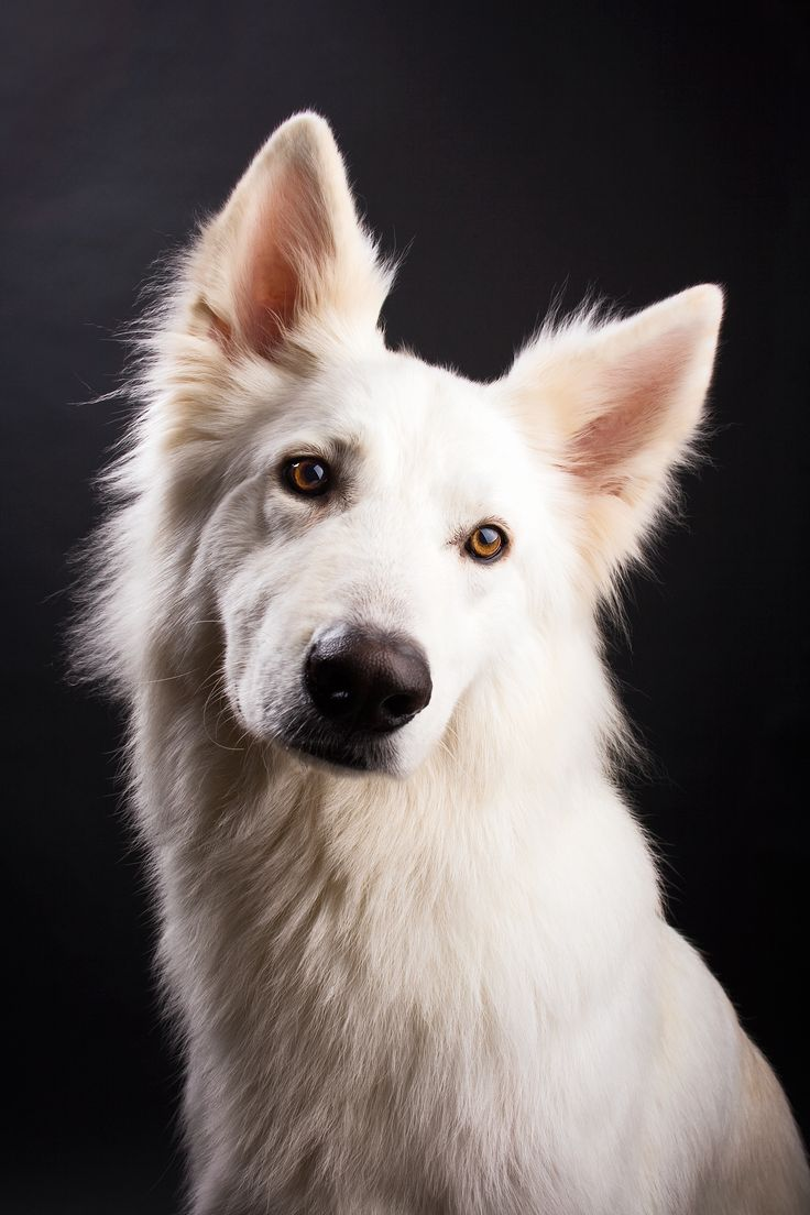 Most beautiful picture ever of Doran, our Swiss White Shepherd :)