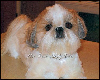 shih tzu puppy hair styles ch artmars mr foo s halo of quot quot is shown in a 9446
