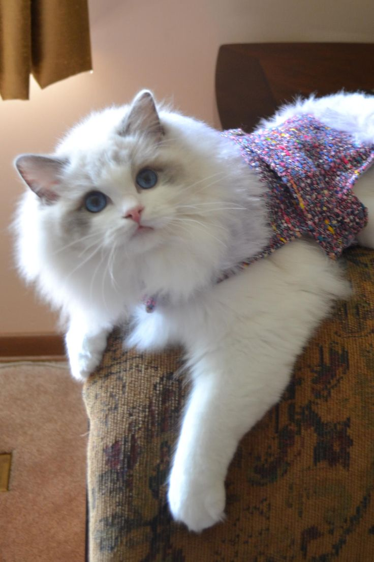 Ragdoll Kittens For Sale In Michigan