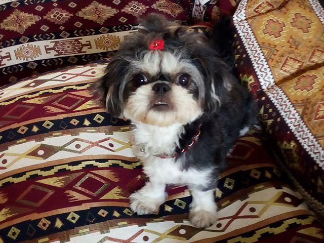 Cali My Shih Tzu Girl Bernaderin Cali Puppy Funny Puppy
