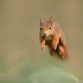 Un gruppo di Regioni e di Università, con il supporto dell'Unione Europea e del Ministero dell'Ambiente, ha dato il via a un programma internazionale per la tutela dello scoiattolo rosso