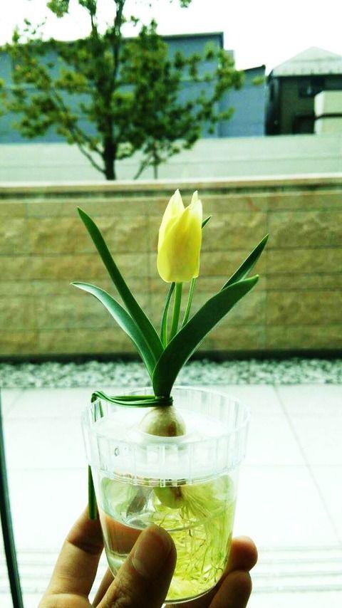 ミニチュ開花
