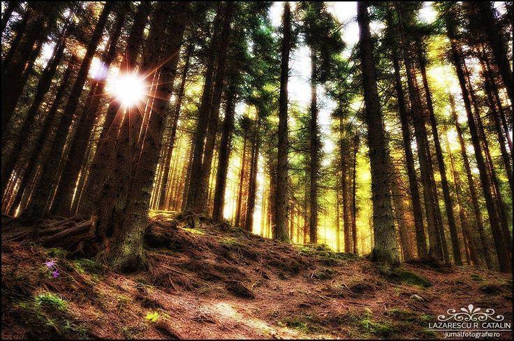Fir forest by Lazarescu R. Catalin on 500px