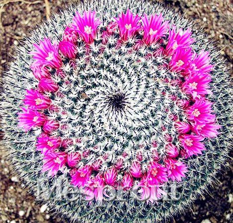 New Fresh Seeds 100pcs/Pack cactus Rebutia variety flowering color cacti rare cactus seed office mini plant succulent