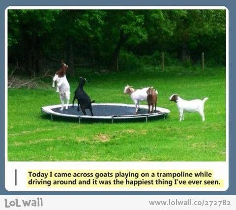 The happiest goats...a trampoline and they could have a goat castle, too!