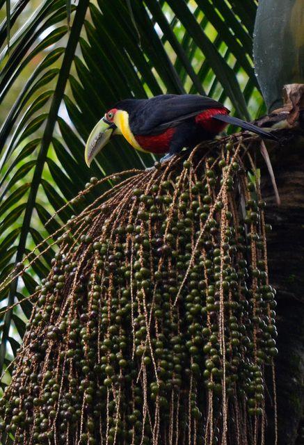Foto tucano-de-bico-verde (Ramphastos dicolorus) por Rodrigo Hauser | Wiki Aves - A Enciclopédia das Aves do Brasil