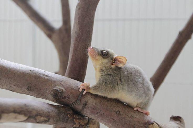 Zoológico de São Paulo Cares for Orphaned Opossums