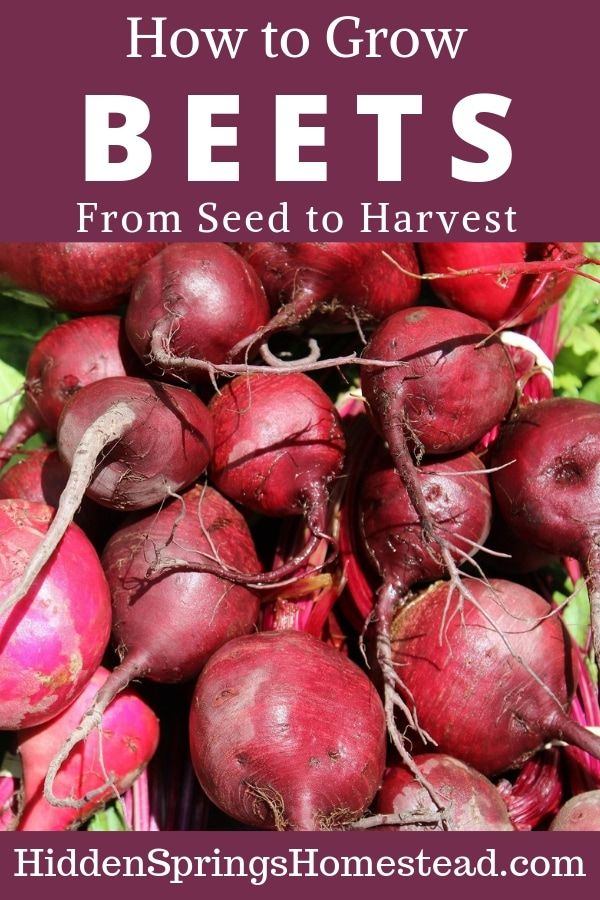 How To Grow Beets Growing Beets Beets Survival Gardening