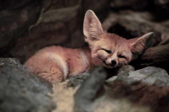 17 best ideas about fennec fox on pinterest adorable - Pagina da colorare fennec fox ...