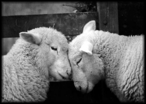 sheep: Goats, Sweet, Sheepi, Fear Death, Black And White, Valentines Day, Farms Animal, Lamb, Photo