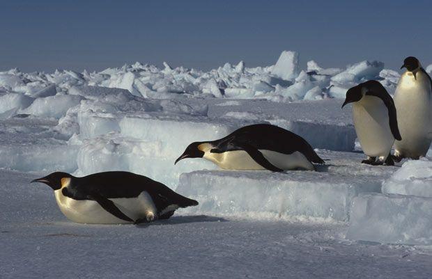 Emperor penguins (Aptenodytes forsteri) return to rookery from feeding at sea, Antarctica.