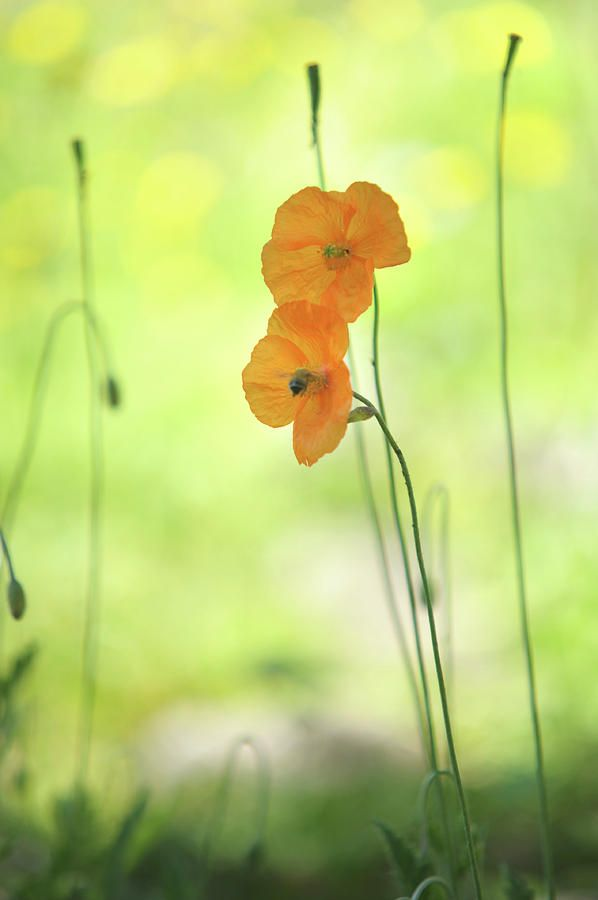 Twins. Orange Poppies by Jenny Rainbow